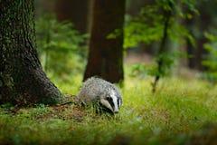 Барсук в лесе, животном в среду обитания природы, Германии, Европе Одичалый барсук, Мелес Мелеса, животное в древесине, лесе m зе стоковые изображения
