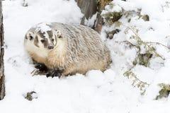 Барсук в снеге стоковое изображение