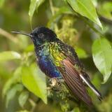 Бархат-пурпуровый Hummingbird Coronet Стоковые Изображения RF