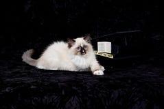 бархат рояля черного котенка миниый стоковая фотография