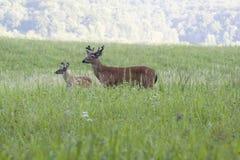 бархат самеца оленя Стоковые Фото