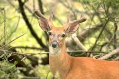 бархат самеца оленя стоковые фотографии rf