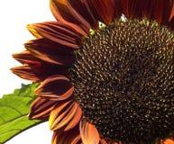 бархат солнцецвета helianthus annuus королевский Стоковая Фотография