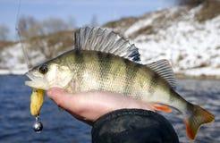 басовая рука s рыболова Стоковые Фото