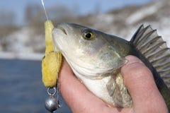 басовая рука s рыболова Стоковое Изображение