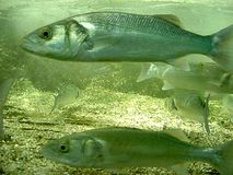 басовое море Стоковые Изображения RF