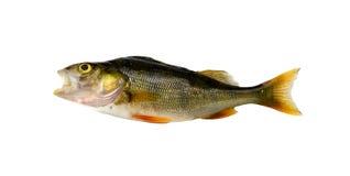 Басовые рыбы окуня после рыболовства изолированного на белизне стоковое фото
