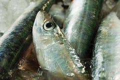 басовые рыбы свежие Стоковые Фотографии RF