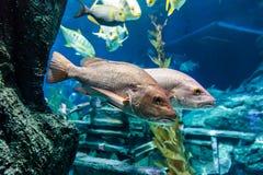Басовые рыбы Стоковые Фотографии RF