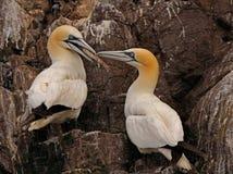 басовый утес gannets Стоковые Изображения
