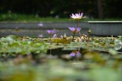 Бассейн лотоса Стоковая Фотография RF