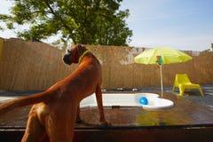 Бассейн Dog�s Стоковое Изображение RF