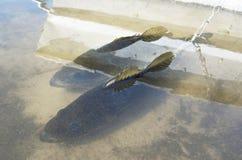 Бас на стрингере в озере Стоковая Фотография RF