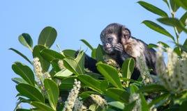 Баффи возглавленный capuchin стоковые изображения
