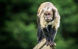 Баффи возглавленный capuchin стоковое фото