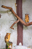 Баффи сычи рыб сидя на дереве стоковое фото rf