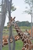 Башня 2 дерева arround жирафа зоопарк columbus, Огайо Стоковое Фото