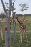 Башня 2 дерева arround жирафа зоопарк columbus, Огайо Стоковая Фотография
