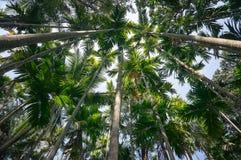 Башня пальм против голубого неба Толстый лес ладони к тропическим джунглям Нижний взгляд высоких пальм Стоковые Изображения RF