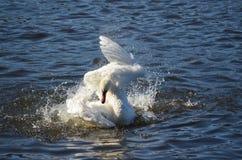 Балет лебедя Стоковая Фотография
