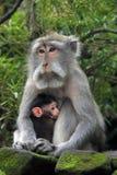 Балийская обезьяна с ребенком Стоковые Изображения RF