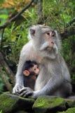 Балийская обезьяна с ребенком Стоковые Изображения