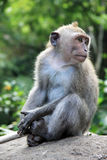 Балийская обезьяна Стоковое фото RF