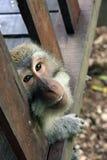 Балийская обезьяна Стоковые Фото