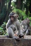 Балийская обезьяна Стоковая Фотография RF