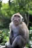 Балийская обезьяна Стоковое Фото