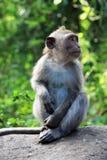 Балийская обезьяна Стоковое Изображение