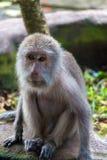Балийская обезьяна Стоковые Фотографии RF