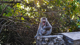 Бали, Индонезия (обезьяна) Стоковое Фото