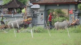 Бали, Индонезия - сентябрь 2016: Гонки буйвола †Makepung «в Бали видеоматериал