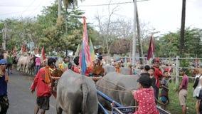 Бали, Индонезия - сентябрь 2016: Гонки буйвола †Makepung «в Бали акции видеоматериалы