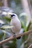 Бали-Mynah (rothschildi Leucopsar) Стоковое Фото