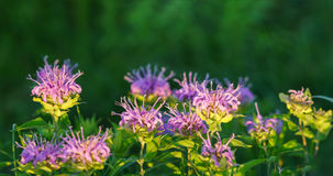 Бальзам одичалого бергамота или пчелы стоковая фотография rf