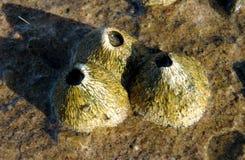 Балянус род щипцев в Balanidae семьи, Crustacea Стоковое Фото