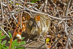 Бдительная малая 4-Striped мышь травы стоковое фото rf