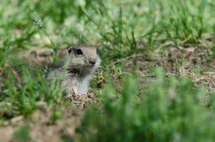 Бдительная маленькая земная белка Peeking над краем своего дома Стоковое Изображение