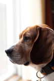 бдительная собака beagle Стоковые Фото