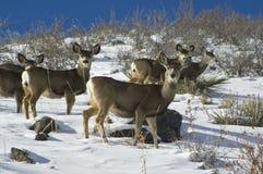 бдительные олени замыкают белизну Стоковая Фотография RF