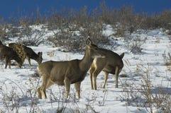 бдительные олени замыкают белизну Стоковые Фотографии RF