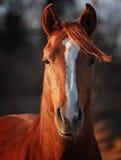 бдительный аравийский жеребец Стоковая Фотография