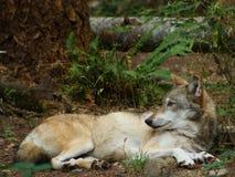 бдительный волк Стоковые Изображения