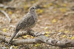 Бдительный голубь Inca, inca Columbina стоковая фотография rf