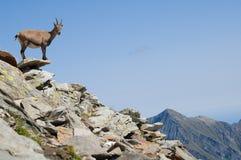 бдительный женский ibex стоковые фото