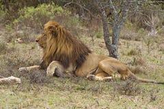 бдительный львев стоковая фотография rf