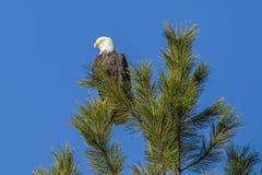 Бдительный орел на верхней части дерева Стоковые Фотографии RF