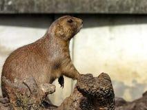 Бдительный род Cynomys собак прерии около отверстий их гнезд Стоковое Изображение RF